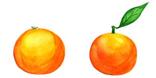 Vector watercolor tangerines isolated on white Royalty Free Stock Image
