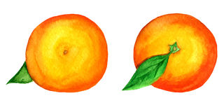 2 vector watercolor tangerines isolated on white Royalty Free Stock Photos