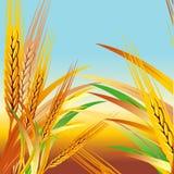 Vector wheat Royalty Free Stock Photo