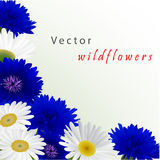 Vector white background with flowers camomile Royalty Free Stock Photo
