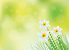 Vector white daffodil flowers. Royalty Free Stock Images