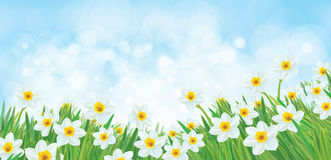 Vector white daffodil flowers. royalty free illustration