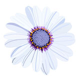Vector white daisy flower Royalty Free Stock Image