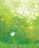 Vector  white  dandelion. Vector  white  dandelion flower on green nature  background Stock Images