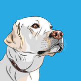 Vector white dog breed Labrador Retriever. Closeup portrait white dog breed Labrador Retriever seriously looking into the distance Royalty Free Stock Photo