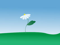 Vector white flower. Daisy growing in the meadow Stock Image