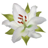Vector white lily. Vector realistic lily white isolated with green leaves Stock Photos