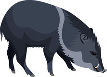 Vector wild pig peccary Stock Photos