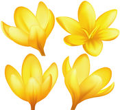 Yellow crocus. Vector illustration - set of yellow crocuses. EPS 10, RGB. Created with a gradient mesh Stock Photography