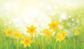 Vector  yellow daffodil flowers. Stock Photography
