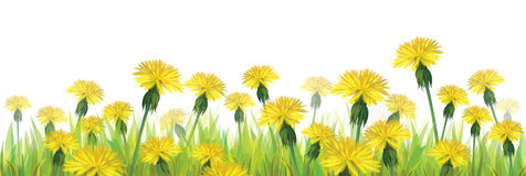 Vector yellow dandelions isolated. Royalty Free Stock Photos