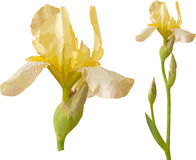 Vector yellow iris. Filled with solid colors only Stock Images
