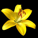 Vector yellow lily on black Stock Image