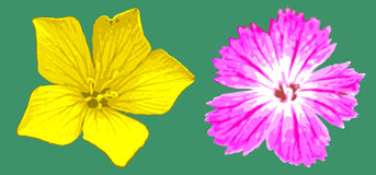Vector yellow and magenta flowers Stock Photos