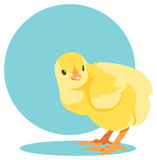 Vector yellow newborn chick Stock Photo