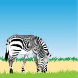 Vector zebra illustration Royalty Free Stock Photo
