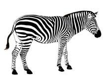 Vector Zebra Royalty Free Stock Photos