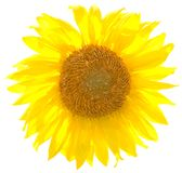 Vector zonnebloem. Stock Afbeelding