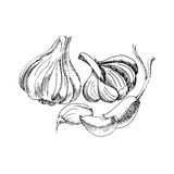 Vector zwart-witte grafische tekening van knoflook Stock Fotografie