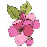 Vectorapple-bloesem bloemen botanische bloem Roze en groen gegraveerd inktart. Het geïsoleerde element van de bloemenillustratie vector illustratie