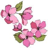 Vectorapple-bloesem bloemen botanische bloem Roze en groen gegraveerd inktart. Het geïsoleerde element van de bloemenillustratie royalty-vrije illustratie