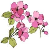 Vectorapple-bloesem bloemen botanische bloem Roze en groen gegraveerd inktart. Het geïsoleerde element van de bloemenillustratie stock illustratie