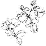 Vectorapple-bloesem bloemen botanische bloem Zwart-wit gegraveerd inktart. Het geïsoleerde element van de bloemenillustratie vector illustratie