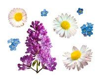 Vectordiereeks takken van lilac madeliefje en vergeet-mij-nietjebloemen op een witte achtergrond worden geïsoleerd royalty-vrije illustratie