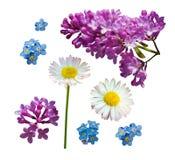 Vectordiereeks takken van lilac madeliefje en vergeet-mij-nietjebloemen op een witte achtergrond worden geïsoleerd stock illustratie