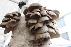 Vectorhand getrokken illustratie Pleurotusostreatus De oesterpaddestoel is een gemeenschappelijke eetbare paddestoel Paddestoelen royalty-vrije stock foto