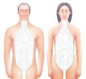 Vectorial illustarrion van sected hand getrokken anatomiemodellen Stock Afbeelding