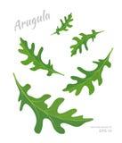 Vectorillustratie van dalende die Arugula-bladeren op witte achtergrond wordt geïsoleerd Verse kruiden en specerijen stock illustratie