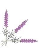 Vectorillustratie van drie lavendelbloemen op witte achtergrond Royalty-vrije Stock Afbeeldingen