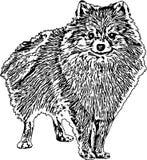 Vectorillustratie van een Pomeranian-Hond stock afbeelding