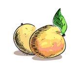 Vectorillustratie van twee perziken Stock Afbeeldingen