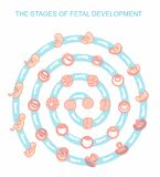 Vectorillustratiestadia van foetale ontwikkeling Geïsoleerdj op witte achtergrond Zwangerschap Stock Foto's