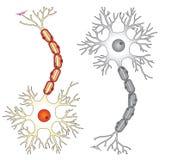 Vectorilustration van het neuron Stock Afbeeldingen