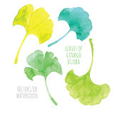 Vectorized watercolor hand drawing leaf of Ginkgo Stock Image