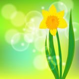 Vectorkaart met gele narcis op lichtgroene bokeh Stock Foto