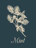 Vectormuntillustratie Hand getrokken aromatische plantschets Culinair kruidbeeld Botanische tekening in gravurestijl royalty-vrije illustratie