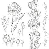 Vectorreeks elementen van de contourtulp Naadloze borstel voor bloemen vector illustratie