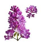 Vectorreeks takken van purpere die lilac bloemen op een witte achtergrond wordt geïsoleerd royalty-vrije illustratie