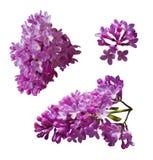 Vectorreeks takken van purpere die lilac bloemen op een witte achtergrond wordt geïsoleerd stock illustratie