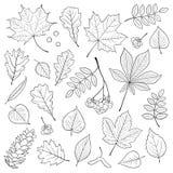 Vectorreeks verschillende, gedetailleerde bladeren van de overzichtsboom, bos van Lijsterbes en denneappel op witte achtergrond Stock Afbeelding