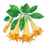 Vectortak met de Trompetten van Brugmansia of van Engelen Overzichts oranje bloem, knop en groene die bladeren op witte achtergro vector illustratie