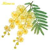 Vectortak van overzichtsmimosa of Acaciadealbata of zilveren acacia gele bloem, knop en groene die bladeren op wit wordt geïsolee Stock Afbeeldingen