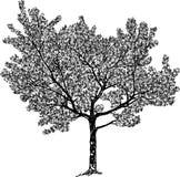Vectortekening van een bloeiende kersenboom stock illustratie