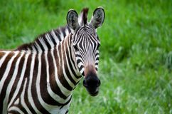 Vedere la zebra delle bande Fotografia Stock Libera da Diritti
