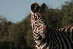 Vedere la zebra delle bande Fotografie Stock