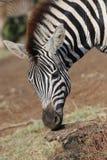 Vedere la zebra delle bande Immagini Stock